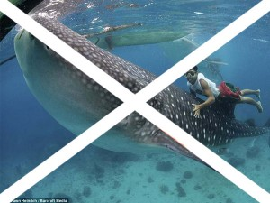 swim-with-whale-sharks-in-the-philippines
