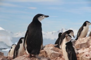 chinstrap-penguin-1149258_960_720-360x240